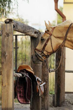palomino: Palomino horse standing near riding equipment Stock Photo