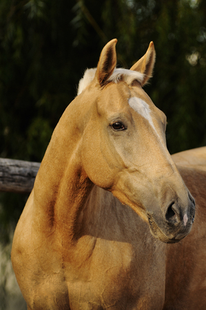 palomino: Palomino horse portrait on dark backdround