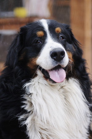 bernese mountain dog: The portrait of Bernese Mountain Dog with tongue