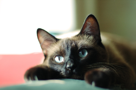 close up eyes: Close up portrait of the siamese cat with blue eyes and paws