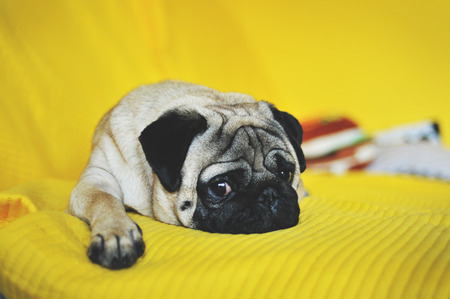pug nose: Cute pug with funny face lying on yellow Stock Photo