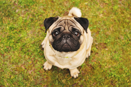 Pug sitting on green grass and looking up