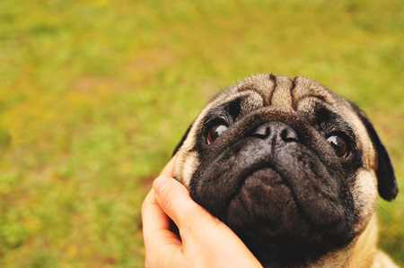 hugged: Pug face hugged with hand outdoors