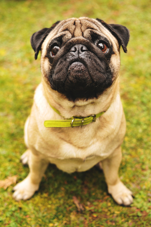 shy: Shy pug sitting on green grass Stock Photo