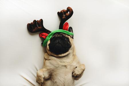 christmas costume: Pug dog in Christmas costume lying on white