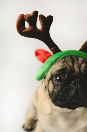 christmas costume: Pug portrait in Christmas costume