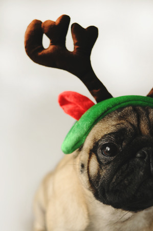 christmas costume: Pug dog portrait in funny Christmas costume