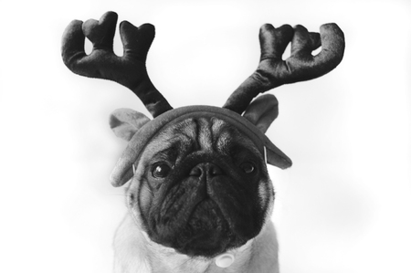 christmas costume: Black and white pug in Christmas costume