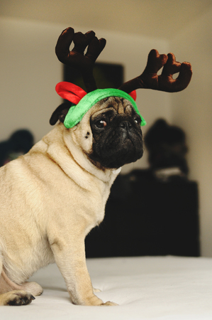 christmas costume: Pug dog portrait sitting in funny Christmas costume on bed Stock Photo