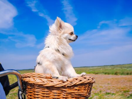 Little Chihuahua dog riding on bike basket. Puppy traveling with people on the road in the dune area of Schiermonnikoog island in Netherlands. Active family sport. Summer travel and vacation concept.