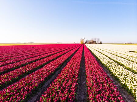 Aerial drone flying over beautiful colored tulip field in Netherlands. Drone view of bulb Agriculture fields with flowers. Fly over Dutch polder landscape multi colored tulip fields spring landscape. Stock Photo