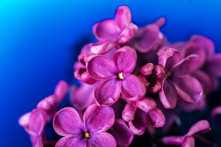 Lilac flower closeup on dark background. Macro lilac branch in dark blue water. Bushes Flowers in Low Key. Purple spring blossom of syringa. Beautiful bouquet of spring lilac. Selective focus
