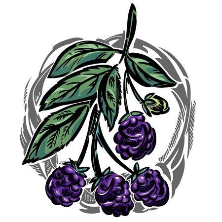 dewberry: A vector branch of dewberry. With leaves and ripe berries. Illustration