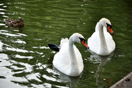 Pair of white mute swans swimming in the green water of the municipal pond