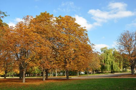 Old chestnut trees with golden leaves in the city park in sunny Autumn day