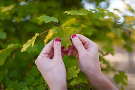 Female hands with red manicure holding green leaves of a tree. Nature, health and beauty, hands and fingernails care concept.