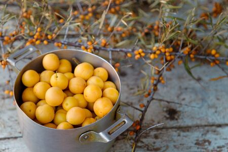 yellow fresh mirabelle plums in a metal pot with sea buckthorn branches and berries on the wooden old blue table background