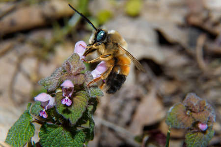 Soft focused macro shot of bumblebee with green eyes pollinating a wild flower. Close up, copy space.