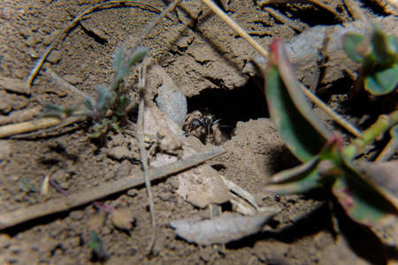 Soft focused macro shot of black ant going out of anthill hole on ground. Springtime and wildlife insects concept.