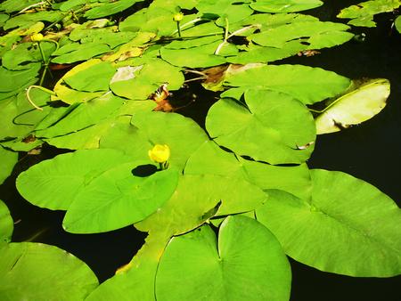 nenuphar: Nenuphars on a river Stock Photo