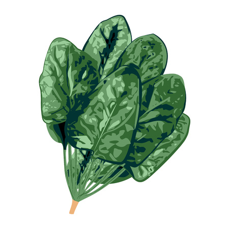 Bunch of spinach on a white background vector illustration