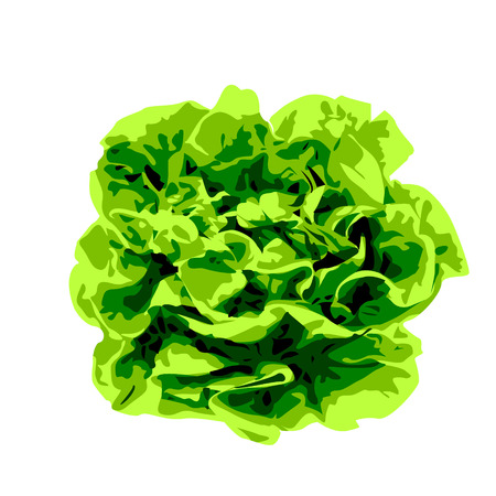 Bunch of lettuce greens on a white background vector illustration Illustration