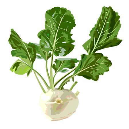 kohlrabi. Vector illustration on a white background