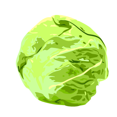 Cabbage vector illustration on a white background