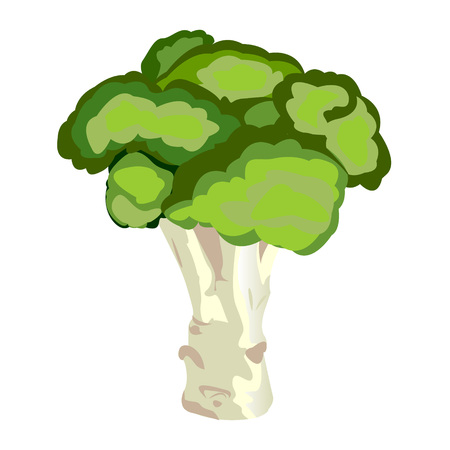 Broccoli vector illustration on a white background