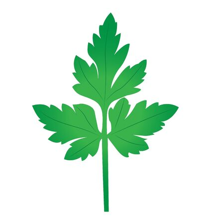 Parsley branch vector illustration on the white background