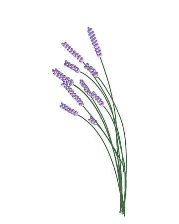 Bunch of Lavander. Vector illustration on a white background