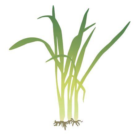 A bunch of lemongrass vector illustration. Illustration