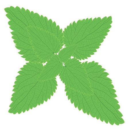 Stinging nettle branch Herbal medicine   vector illustration on a white background