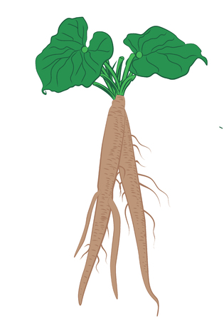 Burdock roots with leaves vector illustration on a white background