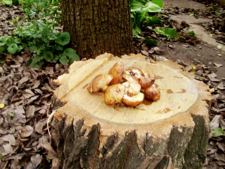 wild forest mushrooms  on a stump
