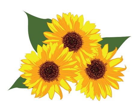 Illustration vectorielle de tournesols sur fond blanc isolé