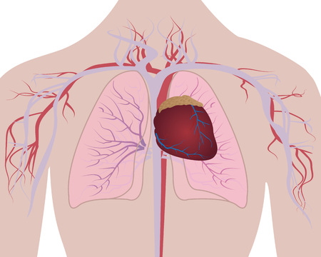 Lungs and Heart cardio system in a human body vector illustration