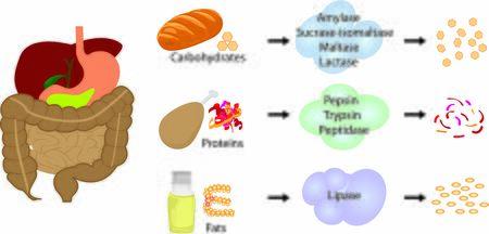 Enzyme zerlegen Nahrung in Nährstoffe. Verdauungssysteme arbeiten vektoranschauliche Infografiken