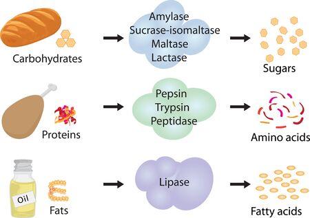 Wie Enzyme funktionieren. Gär- und Verdauungsnahrung