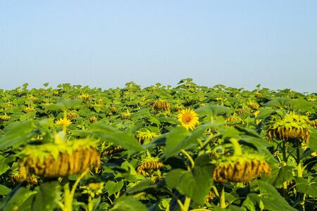 Sunflower plantation field with fade wither flower heads ready for harvest, sunflower seeds crop 写真素材