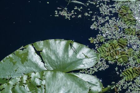 Leaf of water lily nenuphar and some water plants duckweed growing in a lake. the photo was taken in the evening 写真素材