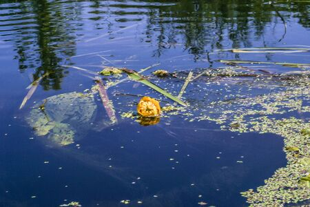 Water lily in a lake growing in wild nature
