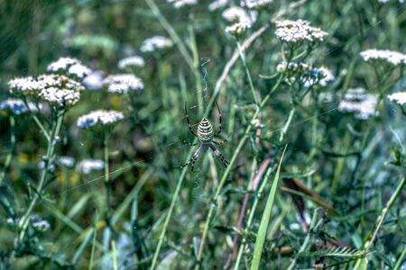 small white flowers of yarrow a medical herb and a spider there in the field in western Europe
