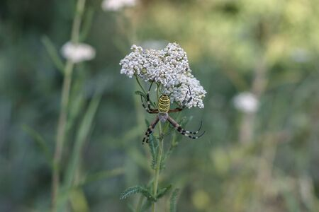 yarrow  medicinal plant with small white flowers growing in the field and a spider hunting on it