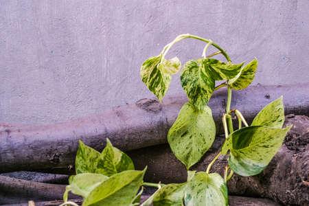 Golden pothos,scindapsus aureus,magnoliophyta,marble queen, silver vine, devils lvy. Popular ornamental shrubs housing. On woods outdoors. 写真素材