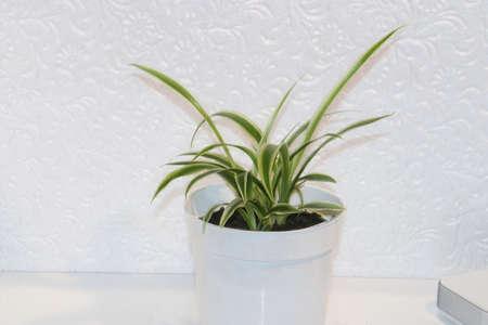 chlorophytum comosum, spider plant on a white background