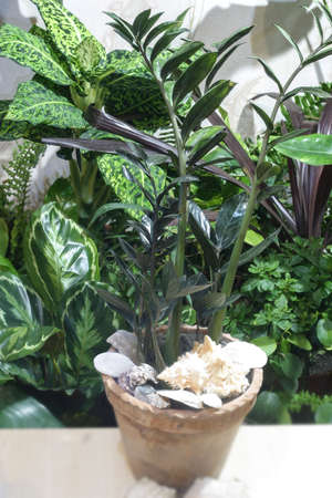Tropical plant zamioculcas and a lot of tropical plants in home jungle. Dollar tree.