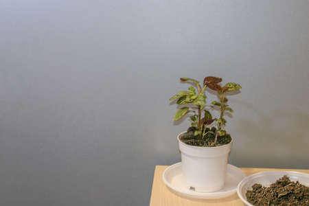 Hypoestes potted house plant and some soil for reppoting. Neytral grey background and some spare space for a text.