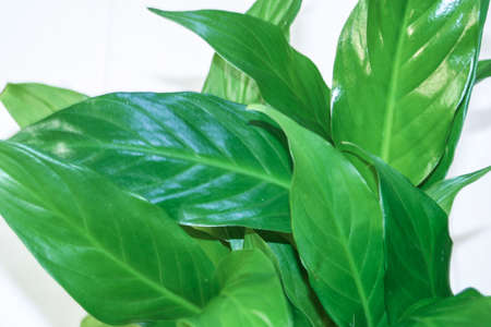 Spathiphyllum leaves. Green texture nature background, tropical leaves