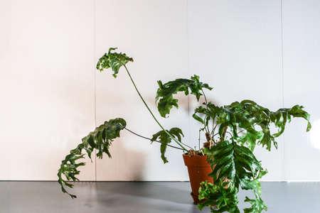 Phlebosia Nicolas Diamond fern rare potted house plant